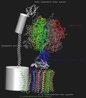 ATP-Synthase: Stator und Rotor